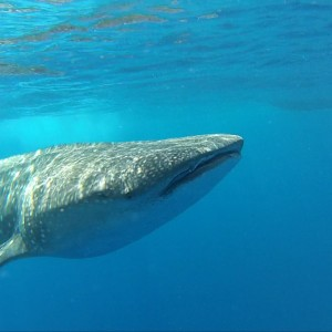 isla whale shark