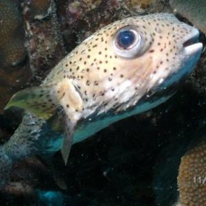 Porcupine_Fish