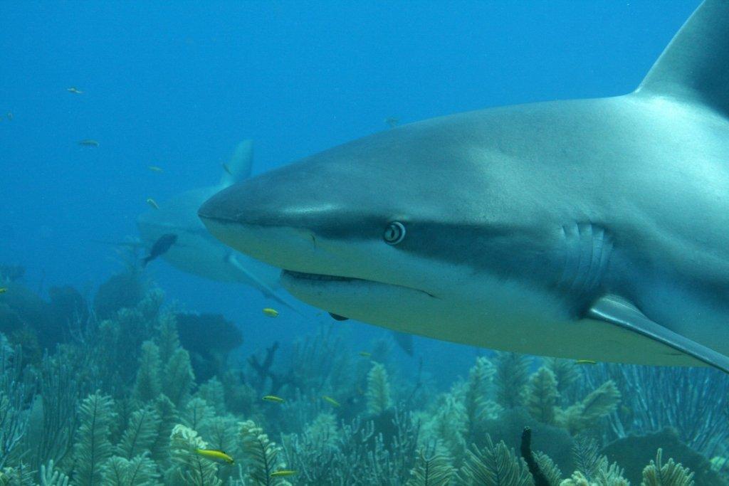 sharks 061