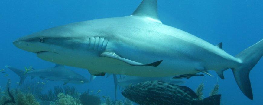 sharks 060