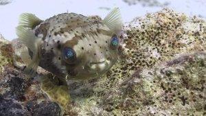 Porcupine Fish 2