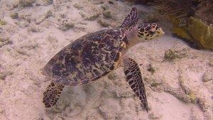 koh hawksbill turtle bonaire 20141231