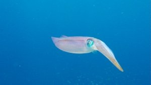 koh reef squid2 bonaire 20150103